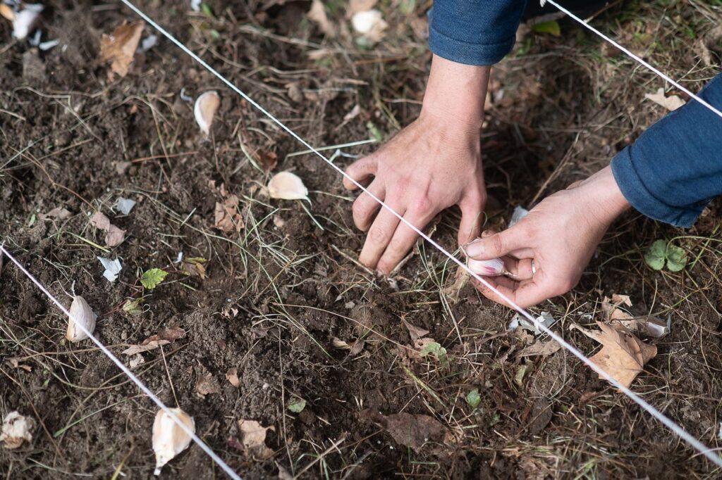 Garlic planting at Jacob's Garden.CHRISTOPHER DUGGAN