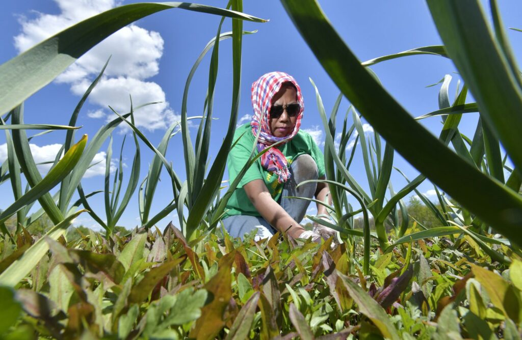 Phalla Nol of Lowell weeded rows of garlic in her plot at White Gate Farm in Dracut.JOSH REYNOLDS FOR THE BOSTON GLOBE