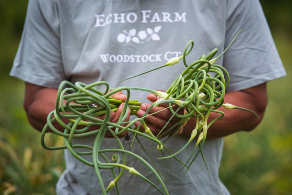Robert Chang harvests garlic scapes on Echo Farm in Woodstock, Conn.GRETCHEN ERTL FOR THE BOSTON GLOBE